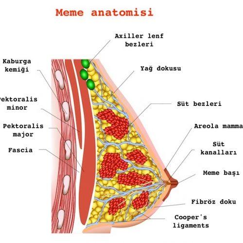 meme şekli ve anatomisi